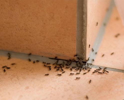 dezinsekcija mravi